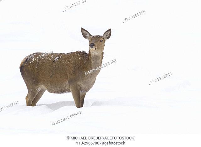 Red deer in Winter, Cervus elaphus, Female, Bavaria, Germany, Europe