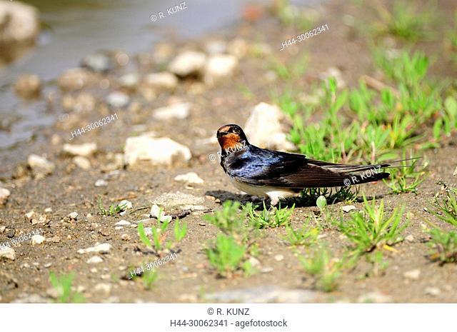 Barn Swallow, Hirundo rustica, Hirundinidae, Swallow, adult, bird, animal , Island of Rügen, Mecklenburg-Western Pomerania, Germany