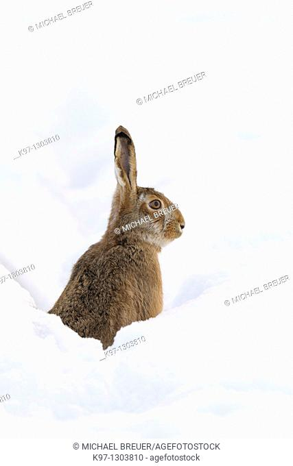 European brown hare (Lepus europaeus) in winter, Germany, Europe