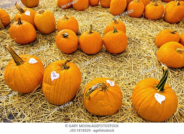 Pumpkins at roadside produce stand, autumn, Grass Valley California