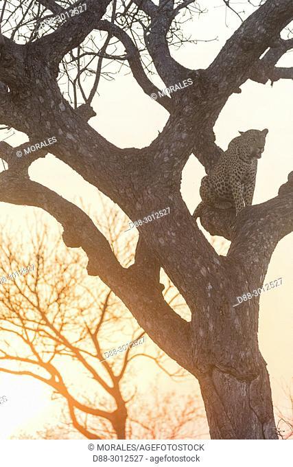 Africa, Southern Africa, South African Republic, Kalahari Desert, savannah, African Leopard (Panthera pardus pardus), climbing in a tree where he put a prey