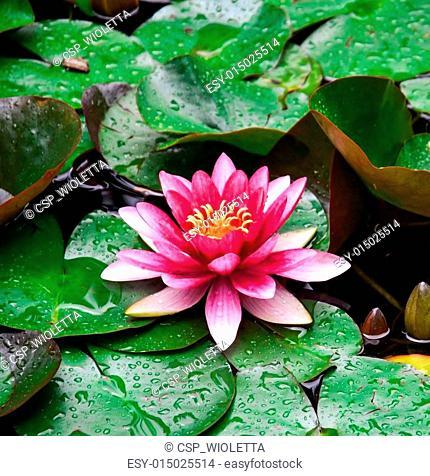 Nymphaea lotus flower