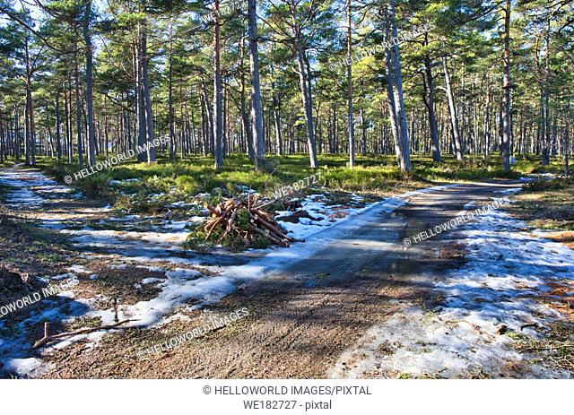 Logs at junction of two forest paths in forest in winter, Sweden, Scandinavia