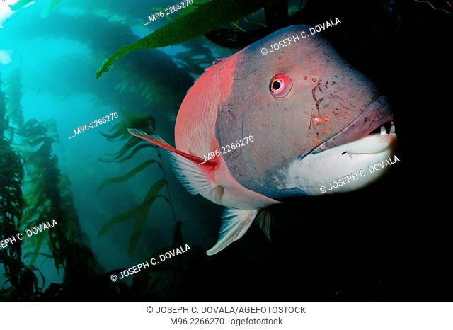 Scarred male sheephead fish, Anacapa Island, California, USA