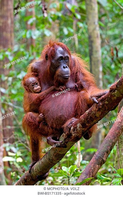 Bornean orangutan (Pongo pygmaeus pygmaeus), female with baby, Indonesia, Borneo, Tanjung Puting National Park