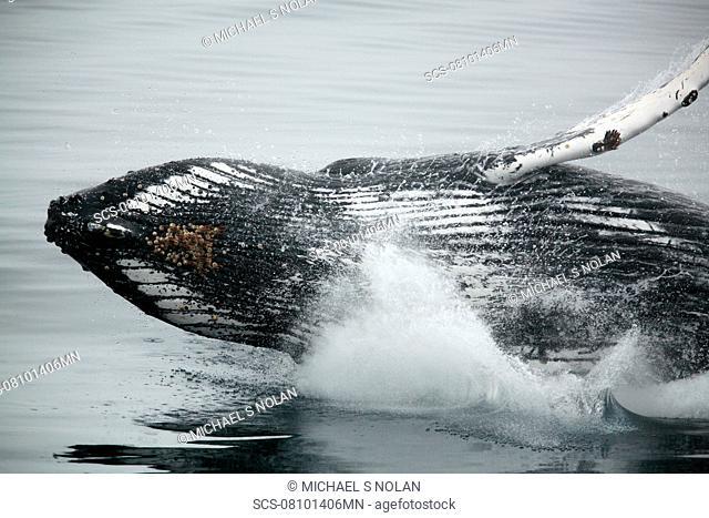 Adult humpback whale Megaptera novaeangliae breaching in Dallmann Bay near the Antarctic Peninsula
