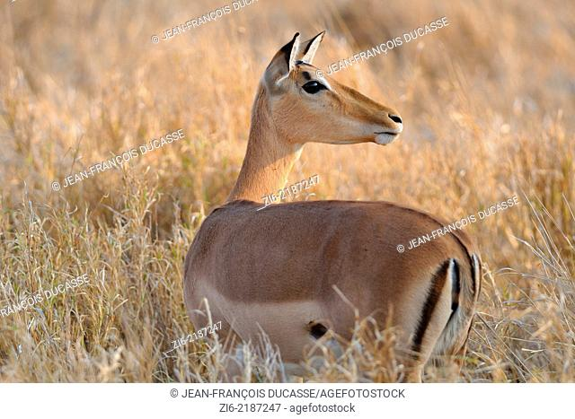 Impala, (Aepyceros melampus), standing in dry grass, Kruger National Park, South Africa, Africa