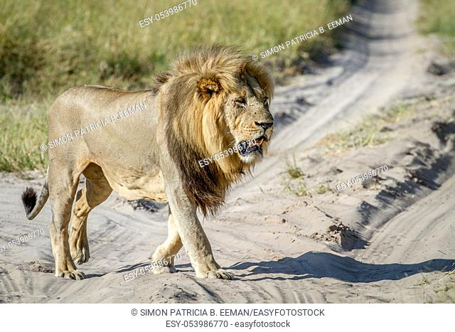 Big male Lion walking in the sand in the Chobe National Park, Botswana