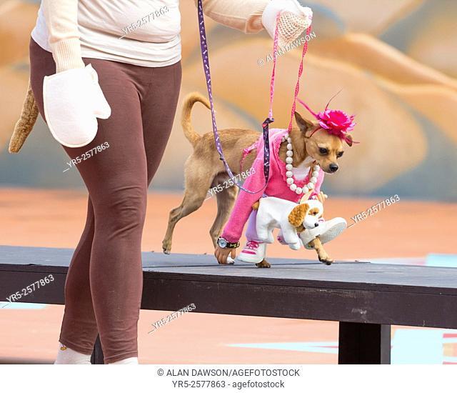 Dog fancy dress day at Las Palmas Carnival on Gran Canaria, Canary Islands, Spain