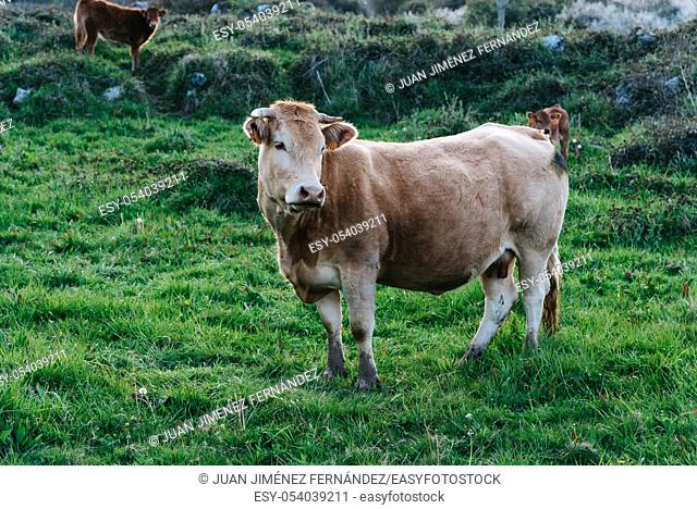 Cow in a pasture in Asturias, Spain