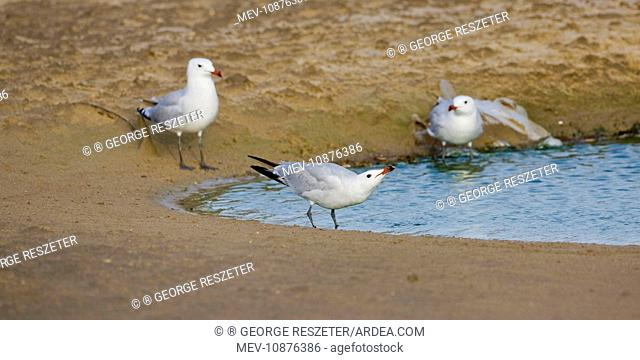 Audoiuns Gull - adults drinking fresh water (Larus audouinii). Tarifa Spain