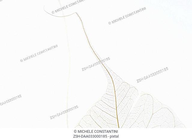 Translucent leaves, close-up