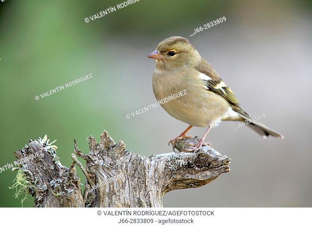Chaffinch (Fringilla coelebs) female in the region of Los Serranos. Valencia
