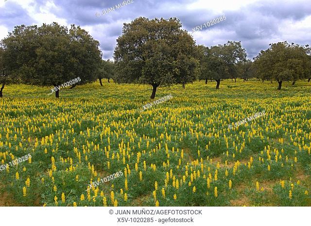 Meadow of oaks (Quercus ilex). Lupinus yellow rug. Extremadura. Spain