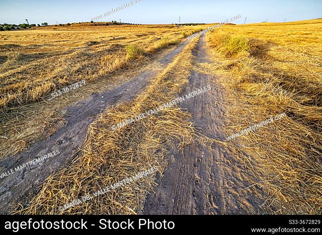 Pathway between the stubble in the summer. Pinto. Madrid. Spain. Europe