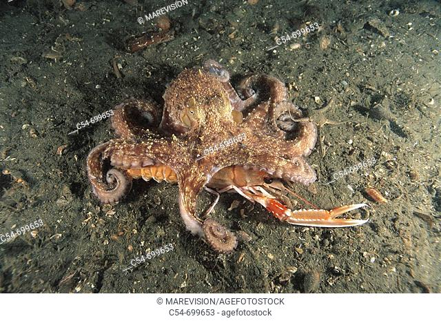 Eastern Atlantic. Galicia. Spain. Octopus hunting Norway lobster (Octopus vulgaris). Nephrops norvegicus