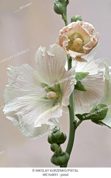 Common hollyhock (Alcea rosea)