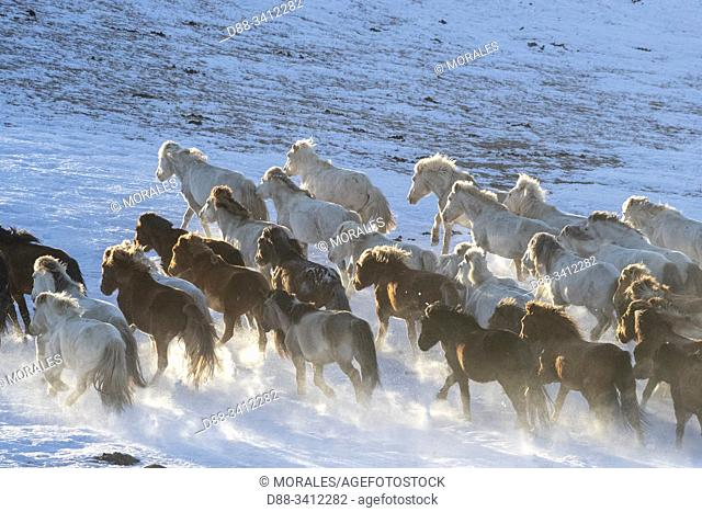 China, Inner Mongolia, Hebei Province, Zhangjiakou, Bashang Grassland, Mongolian horsemen lead a troop of horses running in a meadow covered by snow