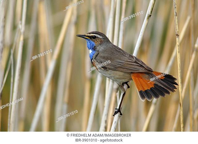 Bluethroat (Luscinia svecica cyanecula) displaying male perched on reed, Lauwersmeer National Park, Holland, The Netherlands