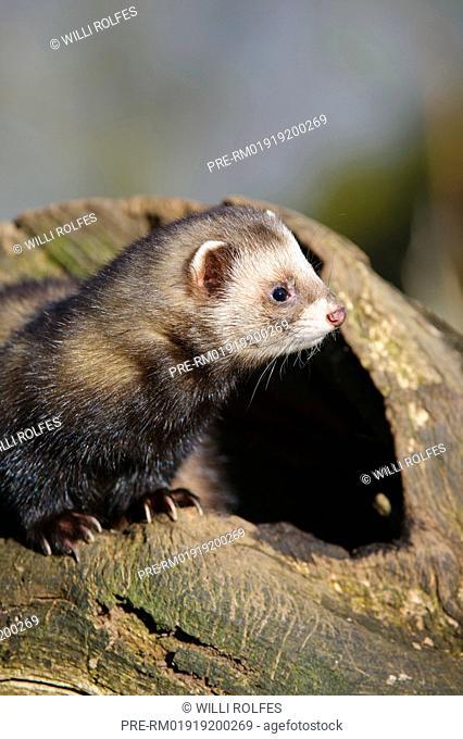European polecat, Mustela putorius, Celle, Niedersachsen, Germany / Europäischer Iltis, Mustela putorius, Celle, Niedersachsen, Deutschland
