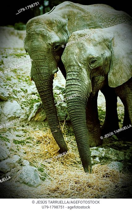 Elephant pair looking at camera