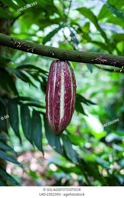 Cacao growing on tree
