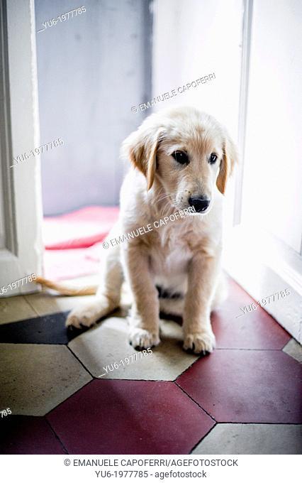 Golden Retriever puppy as he enters the door