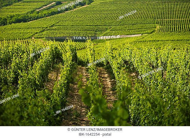 Vineyards, Hetszoeloe, Tokaj region, Hungary, Europe