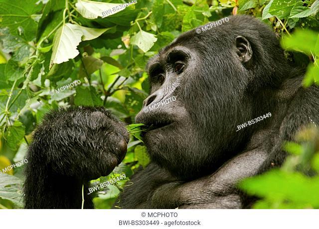 Mountain gorilla (Gorilla beringei beringei), feeding a leaf, Uganda, Bwindi Impenetrable National Park