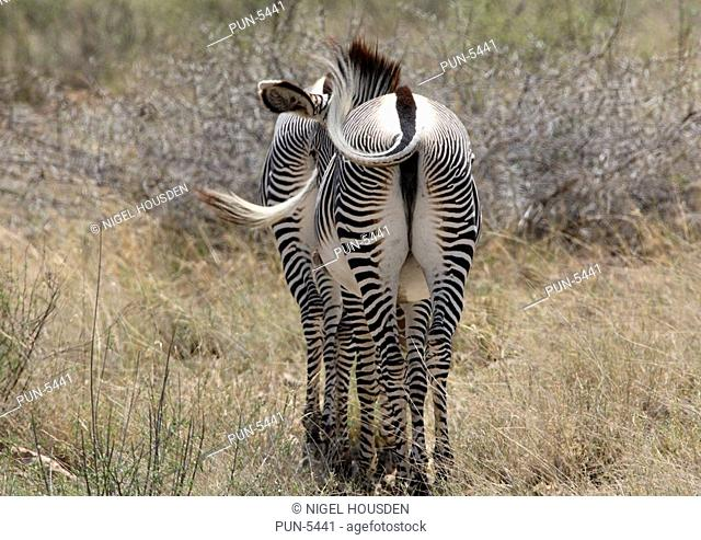 Pair of grevys zebra walking away into the bush