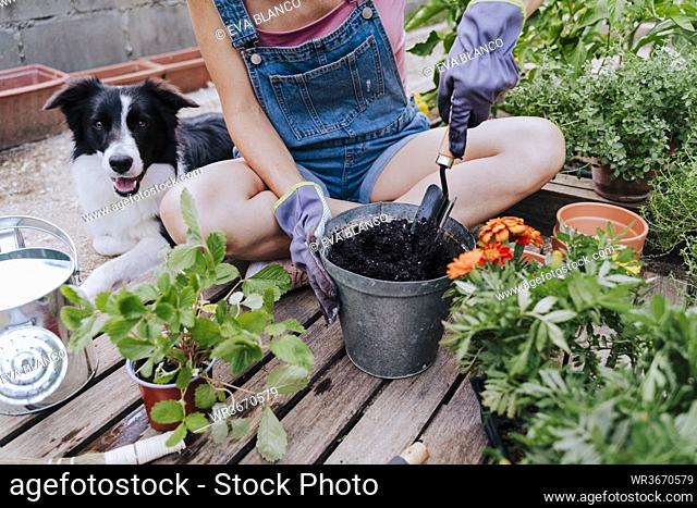 Woman planting while sitting with border collie at vegetable garden