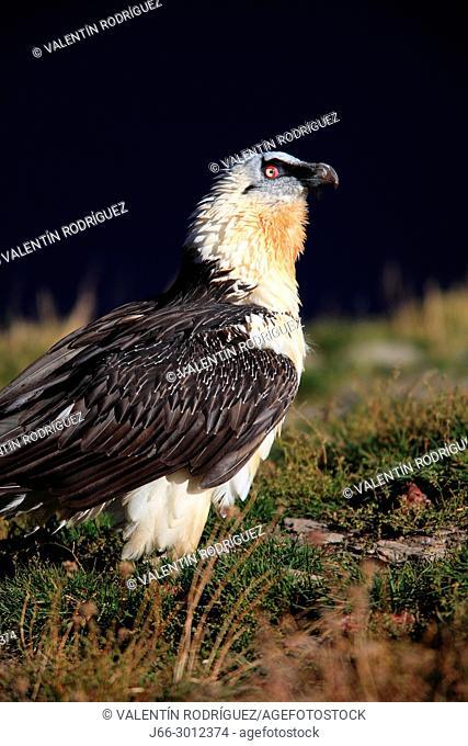 Bearded vulture (Gypaetus barbatus) in the Ordesa y Monte Perdido national park. Huesca