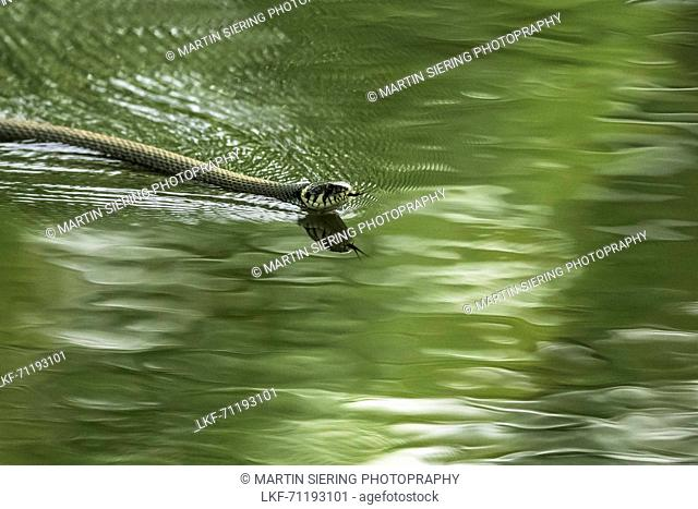 Spreewald Biosphere Reserve, Brandenburg, Germany, Kayaking, Recreation Area, Wilderness, River Landscape, Reptiles, Snake gliding through the water