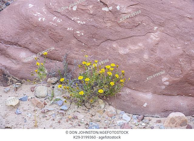 Five-needle prickly leaf (Thymophylla pentachaeta), Grand Canyon National Park, Arizona, USA