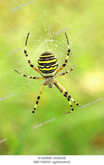 The back side of a Wasp spider in its web