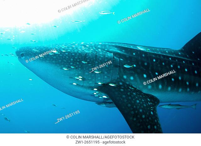 Whale Shark (Rhincodon typus) with small fish and Remoras with sun in background, Cenderawasih (Bird of Paradise) Bay, West Papua, Indonesia