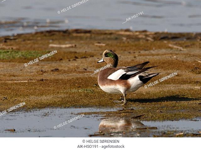 American Wigeon, Anas americana, at Cape May, New Jersey, USA