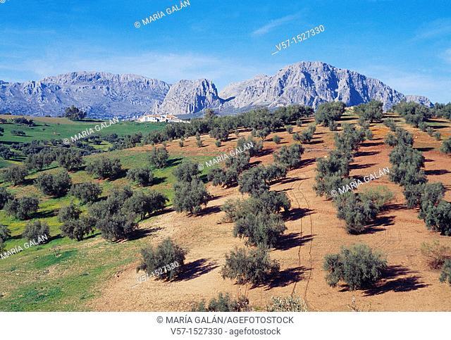 Olive grove and mountain. La Axarquía, Málaga province, Andalucía, Spain