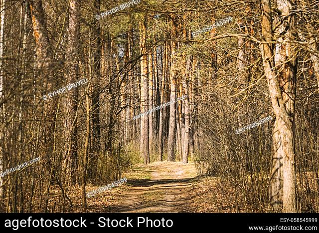 Forest Road Path Walkway Lane Through Spring Coniferous Forest In Sunny Day