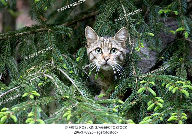 Wildcat  (Felis silvestris). Bavarian Forest. Bavaria, Germany