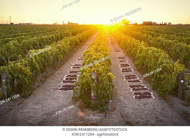 CENTRAL VALLEY, CALIFORNIA - Raisins drying on paper trays