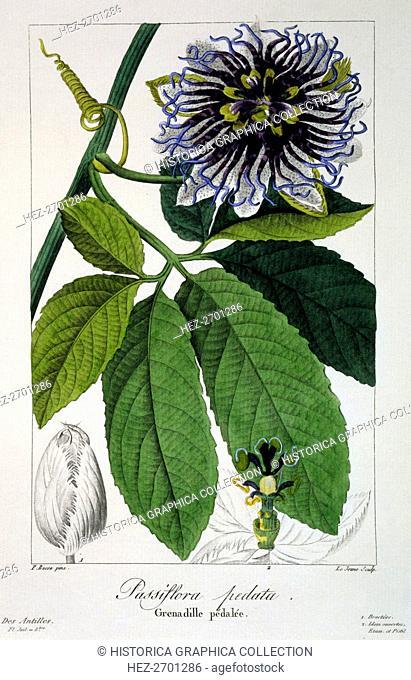 Passiflora pedata or Passion Flower, pub. 1836. Creator: Panacre Bessa (1772-1846)