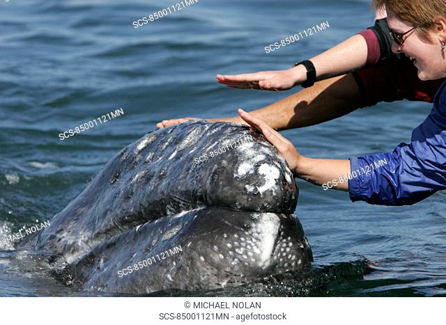 California gray whale Eschrichtius robustus calf being touched by excited whale watchers in the calm waters of San Ignacio Lagoon, Baja California Sur, Mexico