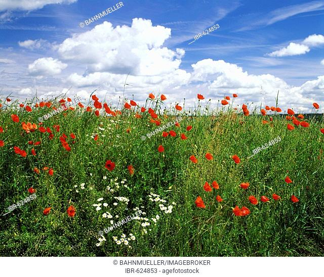 Papaver flowers meadow Oxey daisy