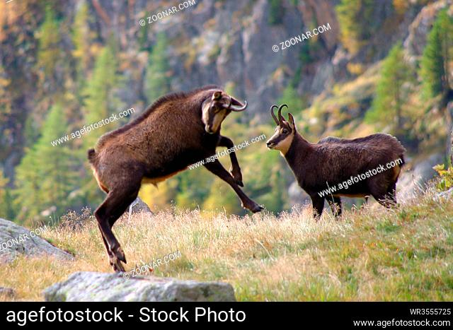 Zwei Gämsböcke im Nationalpark Mercantour, Seealpen, Frankreich Two male chamois in the Mercantour MP, Alpes-Maritimes, France
