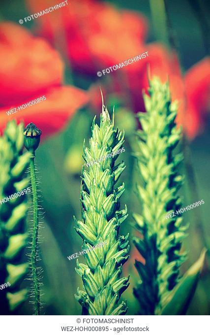 Germany, North Rhine-Westphalia, Rye, Secale cereale, in front of Corn Poppies, Papaver rhoeas