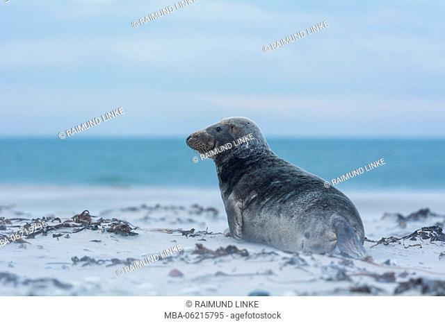 Grey Seal, Halichoerus grypus, Male, Europe
