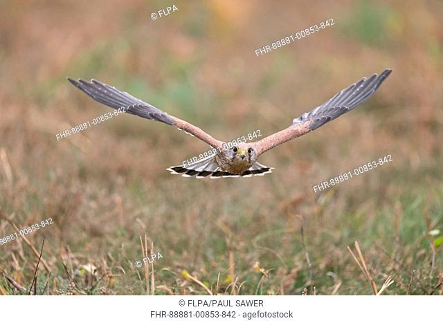 Common Kestrel (Falco tinnunculus) adult male, flying, Suffolk, England, November, controlled subject