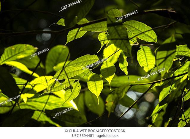 Trees and leaves. Matang Family Park, Matang, Sarawak, Malaysia