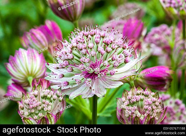 Astrantia major 'Rubra' a red pink herbaceous perennial flower plant commonly known as great black masterwort
